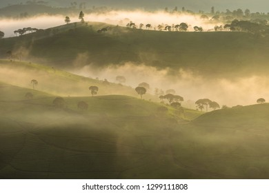 Beautiful view of tea plantation in the misty morning.