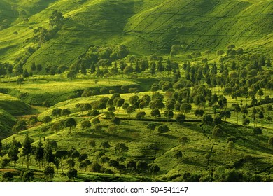 beautiful view of tea plantations,, West Java Indonesia