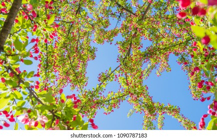Beautiful View Through Tree - Upward view of blue sky through colorful pinkish red buds and yellowish green leaves on extended tree branches