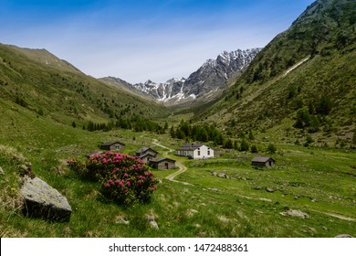Beautiful view of Val Grande with Malga Val Grande in Stelvio National Park with bloom of Rhododendron