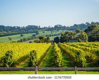 Beautiful view of the vineyards on a wine tour of the Mornington Peninsula, Australia