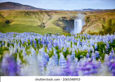 Beautiful view of vivid lupine flowers on sunny day. Location place Skogafoss waterfall, Skoga, Iceland Europe. Wonderful image of amazing nature landscape. Spring scene. Discover the beauty of earth.