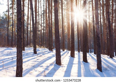 A beautiful view of the winter pine forest is covered with white fluffy snow and the sun's rays are breaking through the trunks of trees and leaving stripes of shadow on the snow. Mirotochivaya and
