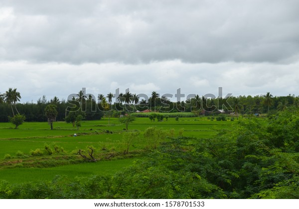 Beautiful village landscape growing green background Paddy rice field crop agriculture transplant wet farming land for seasonal harvesting south India tamilnadu with hill mountain blue sky background
