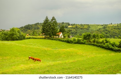 Beautiful village landscape. Summer evening.  Cattle on the field. Cows grazing.  Pasture. Rural scene. Valley in mountain region of western Serbia, Europe.