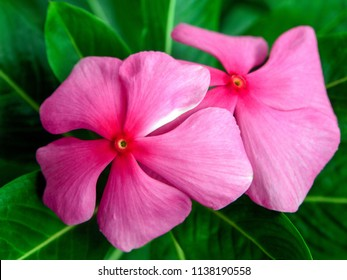 Beautiful Vinca flowers, Madagascar pink flowers in garden, rosy periwinkle or teresita