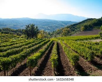 a beautiful vineyard of Greco di Tufo wine, an excellent Italian white wine DOCG