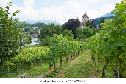 beautiful vineyard with green grapes, spiez tourist resort switzerland. view to the castle and lake thun.