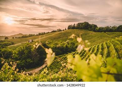 Beautiful vineyard green hills at sunset, Friuli Venezia Giulia, Italy