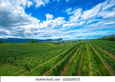 A beautiful vineyard in Japan