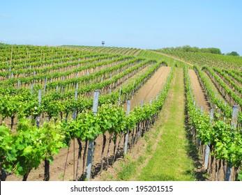 Beautiful vineyard landscape near Velke Bilovice, South Moravia, Czech republic.