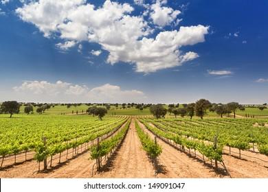 beautiful vineyard with oak in Corral de Almaguer, Toledo, Castilla-La Mancha, Spain