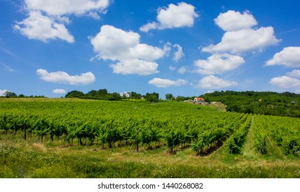 Beautiful vineyard on a hill. Sunny summer picture. Big white clouds and green vines in straight lines. House in the background. Balaton felvidék, Hungary.