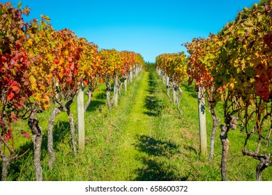 Beautiful vineyard platation with colorful leafs red, yellow and green, located in Waiheke island with a beautiful blue sky