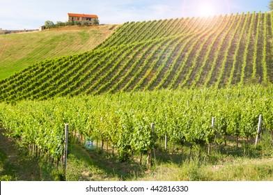 Beautiful vineyard in sunlight