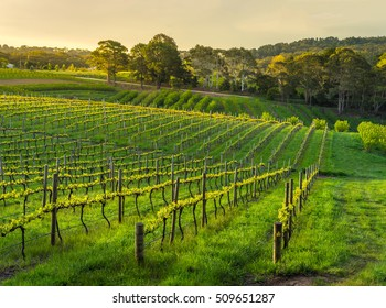 Beautiful vineyard sunset in South Australia