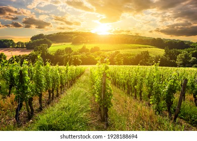 Beautiful vineyard at sunset. Travel around Tuscany, Italy.