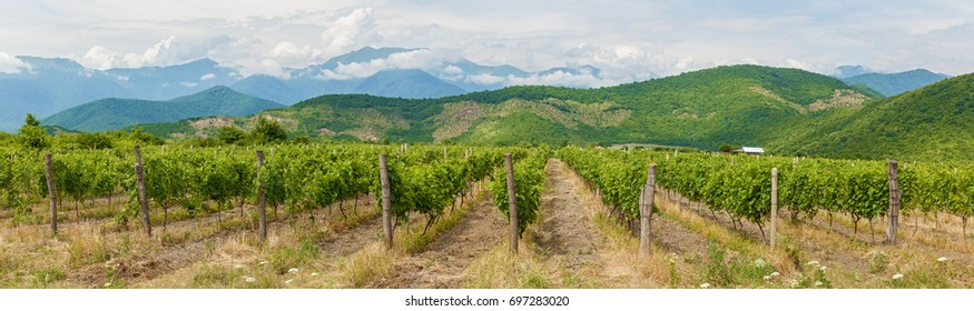 Beautiful vineyards in the background of green mountains and blue sky with clouds, kakheti