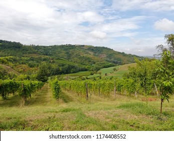 beautiful vineyards located in the timorasso area in piedmont