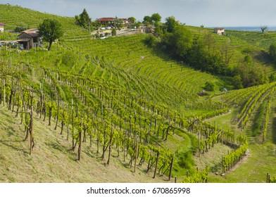 Beautiful vineyards at spring, on the Valdobbiadene's hills, Italy. Taken on April 30, 2017.