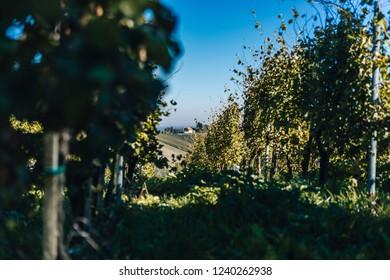 Beautiful vineyards of Stajerska Slovenia, wine producing area of Jeruzalem, Ljutomer and Ormoz. View of green vineyards, rolling hills, cellars. Steyer wine area.