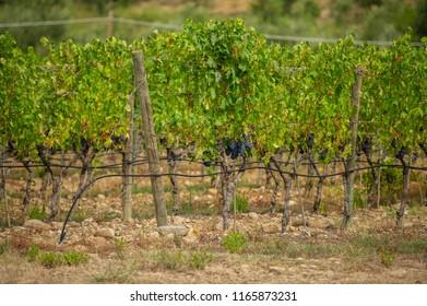 Beautiful vineyards in Tuscany, Italy.
