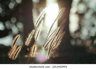 Beautiful vintage nature picture of sunset with grass flower in field and sun and sunlight