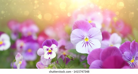 Beautiful Viola Flowers. Flowering purple pansies in garden, abstract bokeh, floral background. Summer blossoming violas background. close up,  copy space