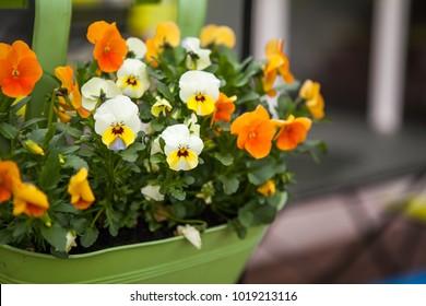 Beautiful viola tricolor flowers blooming in flower pot