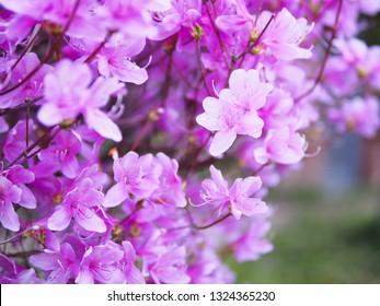 Beautiful violet azalea flower blooming in garden in spring season of Japan
