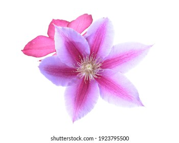 Beautiful violet clematis flower isolate on white background