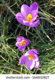 Beautiful violet crocus among in spring. Magnificent view of  formation. Beautiful lightful shiny spring breeze flower plants growing crocus bright yellow orange purple