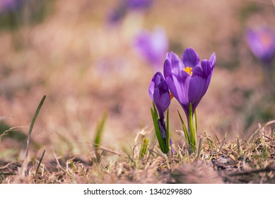 Beautiful violet crocus flower growing in the dry grass, the first sign of spring. Seasonal easter background.