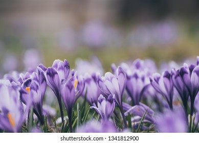 Beautiful violet crocus flowers growing in the grass, the first sign of spring. Seasonal easter background with copyspace