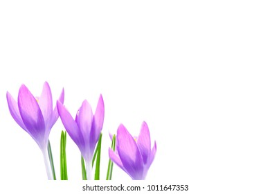 Beautiful violet crocuses flowers isolated on white background. Early spring ,copy space