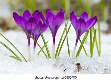 Beautiful violet crocuses in the snow