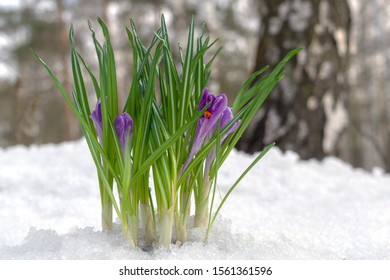 Beautiful violet crocuses in the snow in spring forest and trees.
