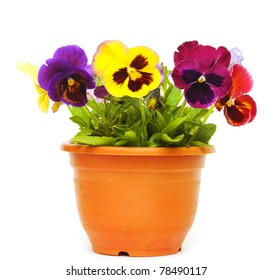 beautiful violet flower in pot isolated on white background