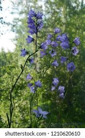 Beautiful violet flowers of campanula persicifolia. Blooming peach-leaved  bellflower in summer.