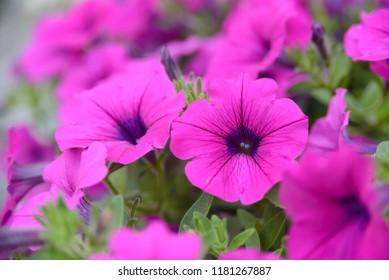 Beautiful violet flowers of petunias in plastic flowerpot