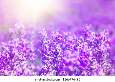 Beautiful violet lavender field