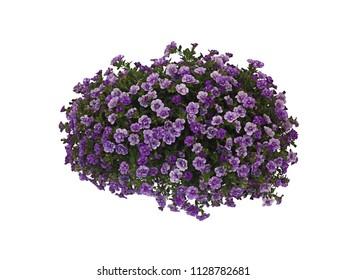 Beautiful violet Million Bells (Calibrachoa), isolated on white backlit background.