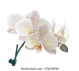 Beautiful violet orchid flower in blooming on a white background