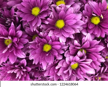 Beautiful violet pink Chrysanthemum flower in close up and top view sell in the flower zone in supermarket store