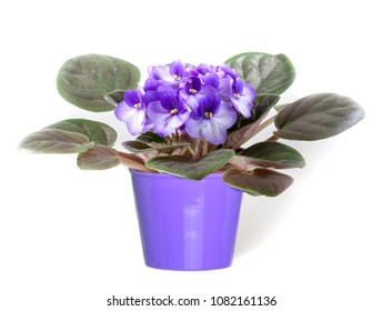 Beautiful violet in a pot