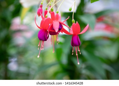 Beautiful violet and red fucshia flower