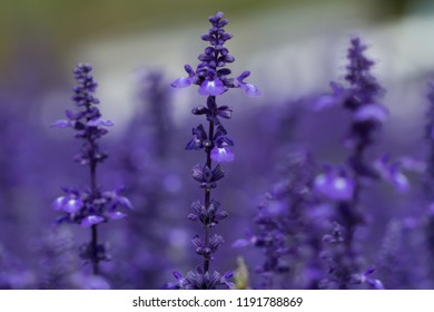 Beautiful violet salvia flowers background, in the garden