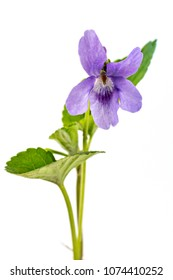 Beautiful violet spring viola flower, Viola reichenbachiana, dog violet, with branches and leaves isolated on white