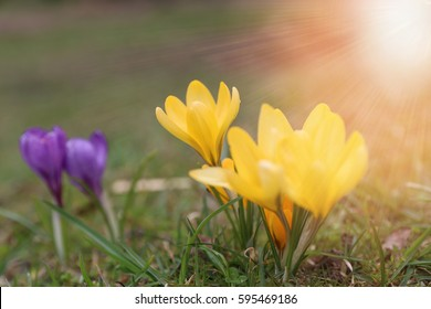 Beautiful violet and yellow crocuses flower growing on the green grass, the first day of spring. Seasonal easter sunny natural beautifull background. Golden tones, selective focus.