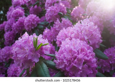 Beautiful Violett Rhododendron closeup